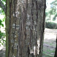 cercidiphyllum-RIMG0038-200x200